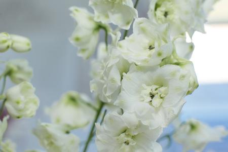 Macro delicate fresh wthite delphinum flower. Wedding fresh flowers decoration. Stock Photo