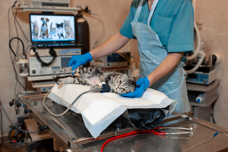 anesthesiologist prepares a cat for surgery. Pet surgery.