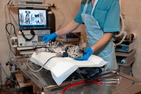 anesthesiologist prepares a cat for surgery. Pet surgery. Stock fotó - 119242352