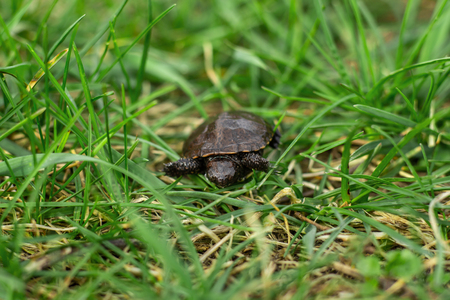 a small newborn turtle crawling on the fresh spring green grass.