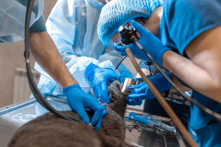 El equipo de cirujanos de mascotas dificulta la operación. Gato bajo anestesia general en mesa de operaciones.