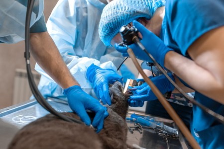 pet surgeons team make difficult operation. Cat under general anesthesia on operating table.