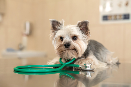 A cute dog breed Yorkshire Terrier is lying on the table with a stethoscope in a veterinary clinic. Inspection in a veterinary clinic. Happy dog vet. Blurred Background.