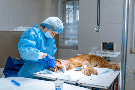 A vet surgeon brushes his dogs teeth under anesthesia on the operating table. Sanitation of the oral cavity in dogs. Dentist veterinarian treats teeth in a veterinary clinic. Veterinary Dentistry.