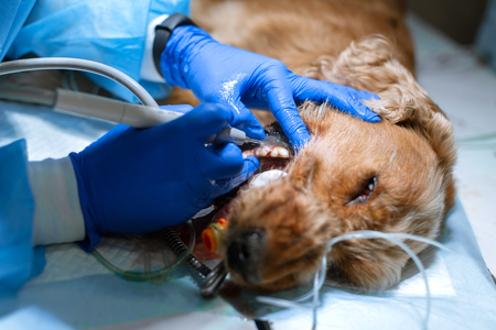 Veterinary dentistry. Dentist surgeon veterinarian cleans and treats a dogs teeth under anesthesia on the operating table in a veterinary clinic. Ultrasonic scaler in the hands of a close-up. Banco de Imagens