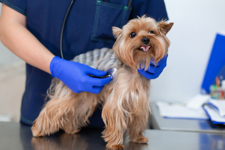Professional vet doctor examines a small dog breed Yorkshire Terrier using a stethoscope. A young male veterinarian of Caucasian appearance works in a veterinary clinic. Dog on examination at the vet.