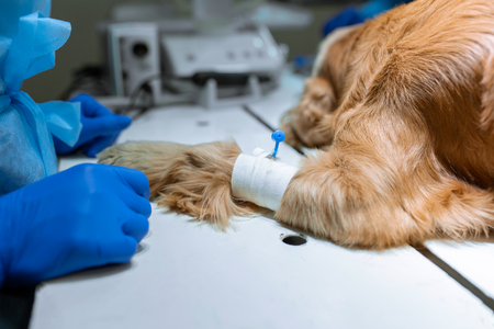 Dog with a catheter in the paw on the operating table. Preparation for surgery.