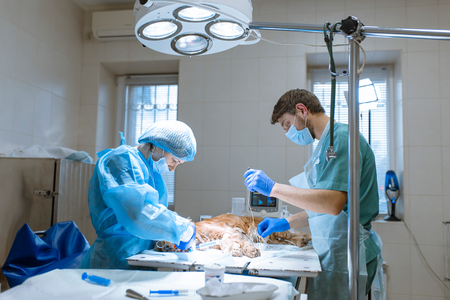 Veterinarians prepare the dog for an operation to clean the teeth. The dog is anesthetized on the operating table. Pet dentology concept. Stock Photo
