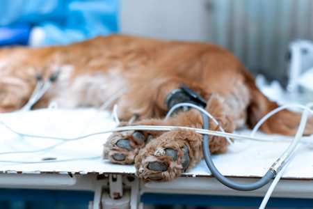 the dog is anesthetized on the operating table in a veterinary clinic. Banque d'images