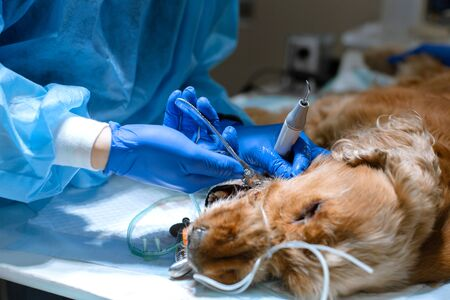 Veterinary dentistry. Dentist surgeon veterinarian treats and removes the teeth of a dog under anesthesia on the operating table in a veterinary clinic. Sanitation of the oral cavity in dogs close-up. 写真素材