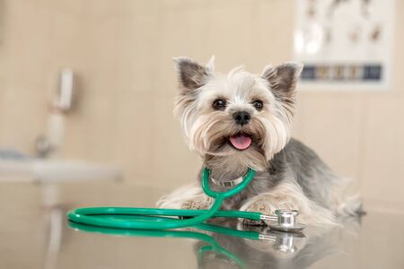 Dog breed Yorkshire terrier lies next to a stethoscope on a metal table in a veterinary clinic. Pet health care concept. Posing like vet doctor.