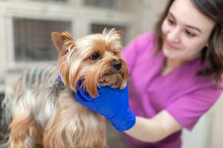 Professioneller Tierarzt impft eine kleine Hunderasse Yorkshire Terrier. Ein kaukasisches Aussehen eines jungen Frauentierarztes arbeitet in einer Tierklinik. Hund bei der Untersuchung beim Tierarzt. Standard-Bild