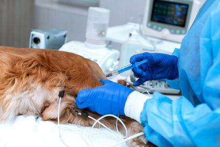 A veterinarian is administering an anesthetized dog . A dog with a catheter in its paw is lying on the operating table in a veterinary clinic. A Cocker Spaniel dog is awaiting surgery. Reklamní fotografie