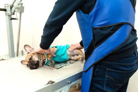 veterinarian assistant in protective vest hold down prepare french bulldog to x-ray scanning. Imagens