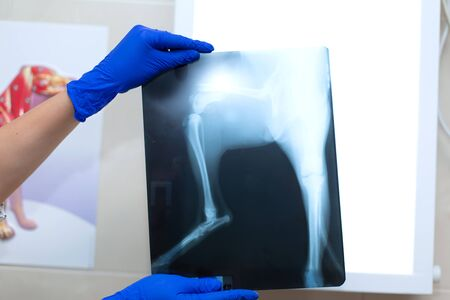 vet doctor watching x-ray image of dog which jumped from sofa and broke leg.