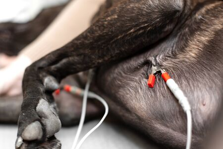 Doctor vet measures pressure and pulse in a dog in front of an ultrasound. Sensors of a cardiogram on a dog close up.