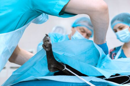 An experienced veterinarian in a mask and gown operates a pet dog in a sterile operating room with an assistant and an anesthesiologist. Tinted in blue. Medical team performs surgery.
