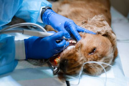 close-up procedure of professional teeth cleaning dog in a veterinary clinic. Anesthetized dog with sensor on tongue. Pet healthcare concept.