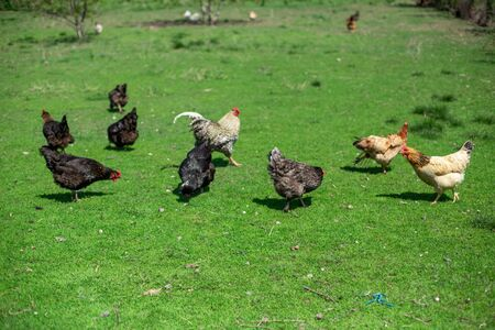 rooster and hens graze on green grass. Livestock in the village.