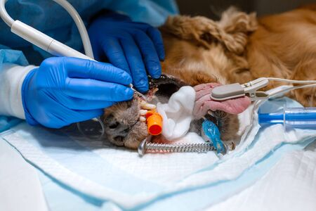 Veterinary dentistry. Dentist surgeon veterinarian cleans and treats a dogs teeth under anesthesia on the operating table in a veterinary clinic. Ultrasonic scaler in the hands of a close-up. Stock Photo