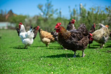rooster and chickens graze on green grass. Livestock in the village.