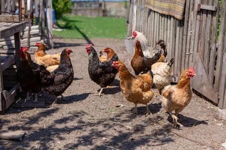 Chickens graze in a lawn at a home farm.