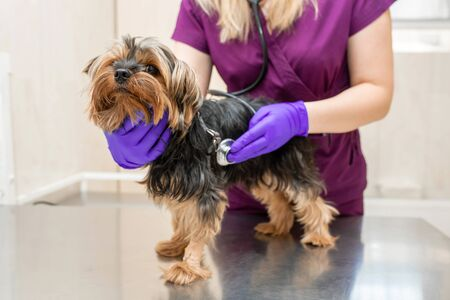 young girl vet in the clinic examine with stethoscope a dog breed Yorkshire terrier. Stock Photo