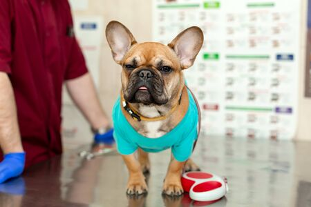 Funny brown french bulldog sits on metal table visit veterinarian. Stock Photo