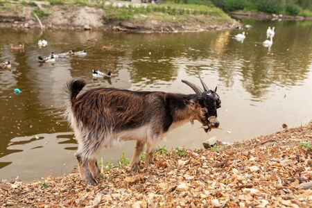 a goat grazes on the lake in a city park.