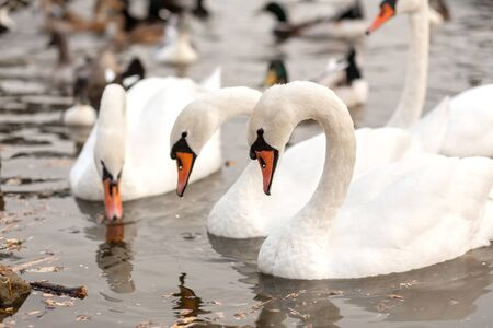 A herd of white swans in a swimming lake in a city park.