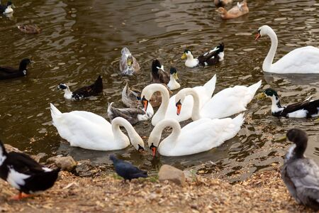 A herd of swans and ducks in a swimming lake in a city park.