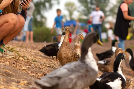 A herd of ducks begs food from people on the lake in a city park.