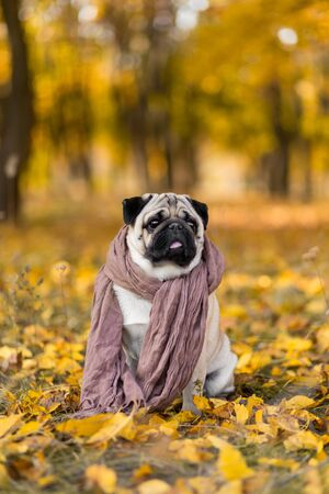 Dog of a pug breed wrapped in a scarf sits in an autumn park on yellow leaves against a background of trees and autumn forest. Puppy looking at the camera