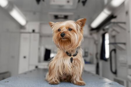 Little fun doggy yorkshire terrier posing on manipulation table inside pet ambulance car. Veterinary clinic promotion Stock Photo