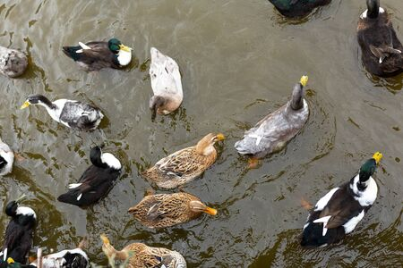 Many ducks swim in the water. Animals in a city park.
