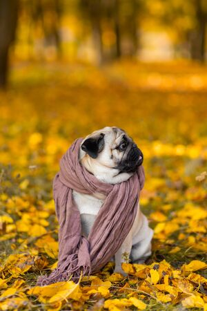 Dog of a pug breed wrapped in a scarf sits in an autumn park on yellow leaves against a background of trees and autumn forest