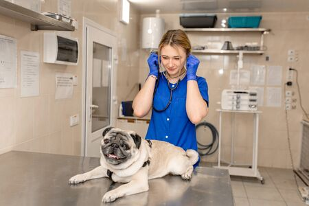 Young professional female veterinarian doctor hold pug dog before exam in veterinary clinic.