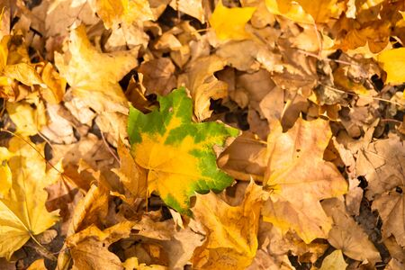 A yellow-green maple leaf lies on autumn foliage in a park on the ground