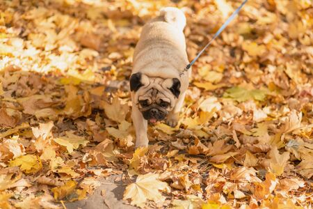 A dog of the pug breed walks in the autumn park along the yellow leaves against the background of trees and autumn forest