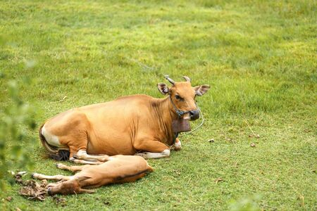 Tropical light Asian cow with a child resting lying on a green meadow. Stock Photo