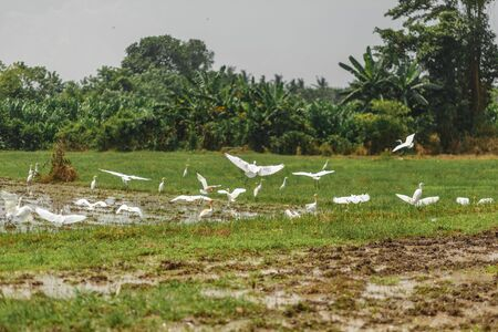 A herd of white herons on a freshly plowed field in search of worms, beetles and earth frogs.