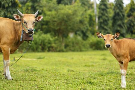 A herd of bright tropical Asian cows grazing on green grass. Big cow with calf.