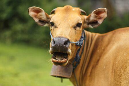 Portrait of a tropical light Asian cow grazes on green grass