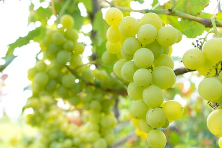 intertwined juicy fruit of grapes in a green garden. Archivio Fotografico