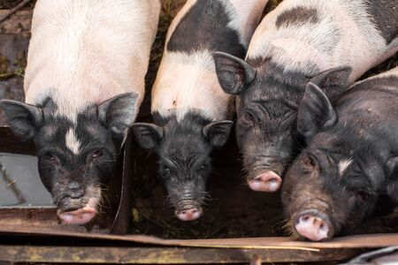 Pigs family in pigsty, dirty and happy. Farm life