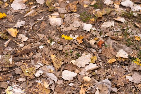 Fallen dry maple leaves are lying on the ground. Autumn background texture.