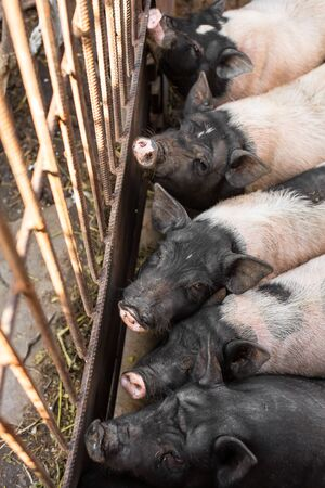 Pigs family in pigsty, dirty and happy. Farm life.