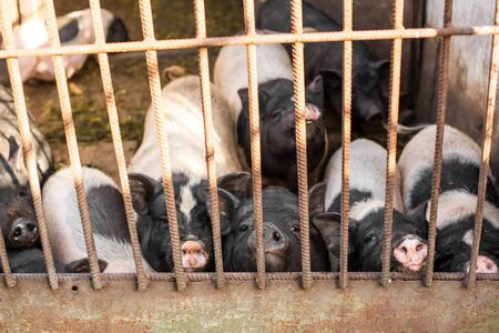 Pigs family in pigsty, look into camera through gate. dirty and happy. Farm life. Фото со стока