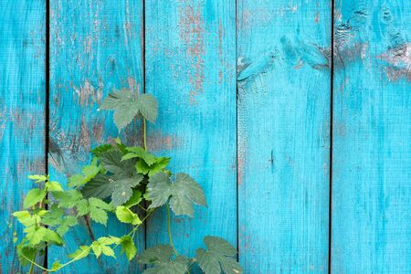 old wooden fence blue paint peeling board texture. Background.