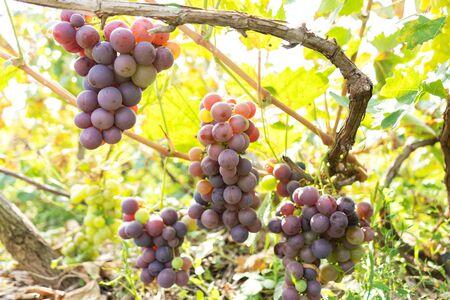 frutta succosa intrecciata di uva in un giardino verde.